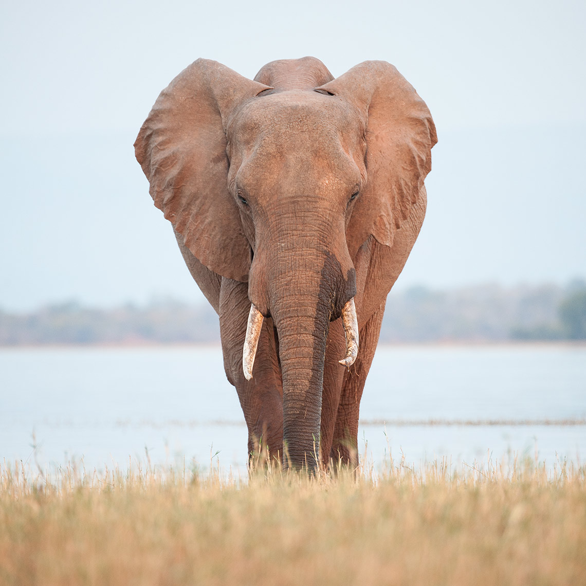Elephant in Lake Kariba, Zimbabwe